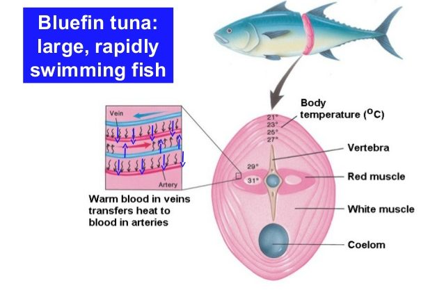 Bluefin tuna fish heat regulations