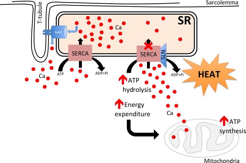 Metabolic heat generation